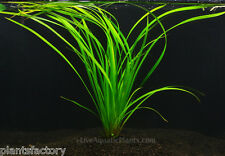 Cyperus Helferi Bunch Freshwater Jungle Val Live Aquarium Plants BUY2GET1FREE*