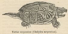 C8311 Chelydra serpentina - Stampa antica - 1892 Engraving