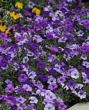 Petunia Shock Wave Denim Pelleted Seeds
