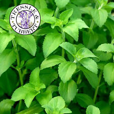 Rare Stevia rebaudiana herb natural sweetner - 50 seeds - UK SELLER