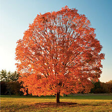 Sugar Maple Tree - Healthy Bare Root Plant - Shade - Colors - 3 pack with Bonus
