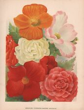 1898 ANTIQUE FLOWER PRINT: SEEDLING TUBEROUS ROOTED BEGONIAS