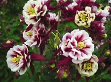 Aquilegia Seeds Winky Double Red White Columbine 25 Seeds