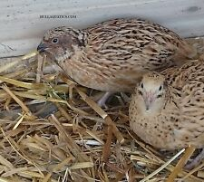 12 Mixed Variety Coturnix Quail Hatching Eggs ---- Free Shipping
