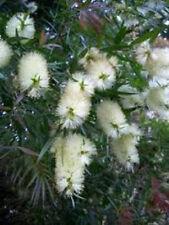 Callistemon salignus White Bottlebrush shrub 20 seeds