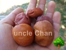 10 SEED JUJUBE ZIZIPHUS JUJUBA CHINESE DATE FRUIT TREE BONSAI HARVEST FRESH 2016