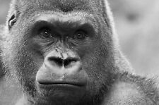 Framed Print - Gorilla Black & White (Picture Poster Wild Animal Monkey Ape Art)