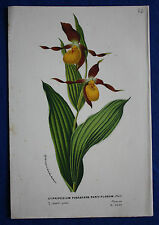 Genuine old botanical print CYPRIPEDIUM PUBESCENS PARVIFLORUM van Houtte c.1860