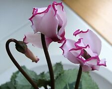 New Light Pink Plicated Cyclamen with Red Edge Flower Seeds,Light Fragrant Flowe