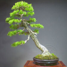 New 2Pcs Five Pine Needles Tree Seeds Bonsai Potted Plant Gardening Landscape