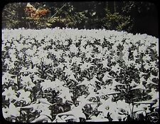 TAKAGI Glass Magic Lantern Slide LILLIES C1920 JAPAN PHOTO FLOWERS LILLY