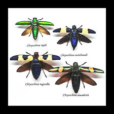 Bugs entomology taxidermy Framed real jewel beetles for sale BBJ4