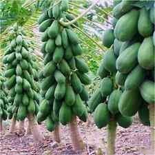 8x deliciosa Casa Jardín Maradol semillas De Papaya vegetales de árboles frutales, plantas Semillas