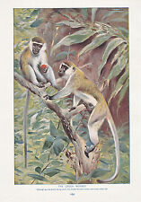 1910 NATURAL HISTORY DOUBLE SIDED PRINT ~ WHITE-HEADED GIBBON / GREEN MONKEY