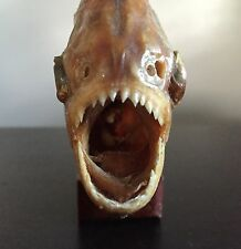 Fine Old Vintage FIERCE PIRANHA Razor Sharp Teeth Taxidermy Art Statue Sculpture
