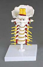 Flexible Cervical Vertebral Column, Lumbar, Spine Model