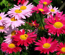 PYRETHRUM ROBINSON'S MIX Chrysanthemum Coccineum - 1,000 Bulk Seeds