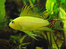 """Pair Apistogramma Cacatuoides DOUBLE RED """"GOLD"""""""