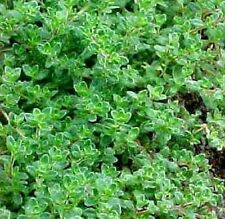 Heirloom Herb THYME Common English German 1000 SEEDS Culinary Medicinal