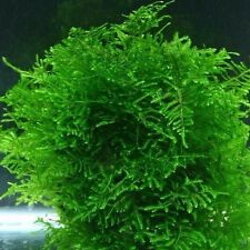 Java Moss Taxiphyllum barbieri Live Fish Aquarium Plants Fern Anubias Shrimp ADA