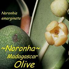 ~MADAGASCAR OLIVE~ SALT TOLERANT Noronhia emarginata NORONHA Pot'd 2-3+FT PLANT