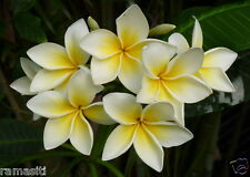 Live Plant :Plumeria White & Yellow Old unknown Cultivar-Fragrance!