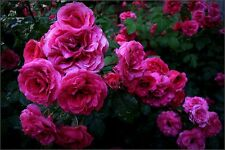 1 Pack 100 Rose Climbing Changmi Seeds Rosebush multiflora Garden Flowers PT3