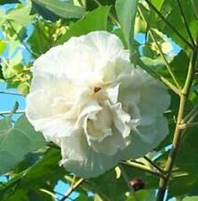 Hibiscus mutabilis | Confederate Rose Double | 20_Seeds FREE SHIPPING TO US