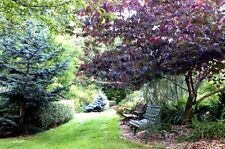 Cercis canadensis Forest Pansy RED LEAVED EASTERN REDBUD Tree Seeds!