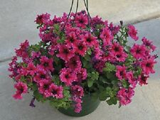 Petunia Seeds Espresso Frappe Rose 50 Pelleted Seeds GREAT FOR HANGING BASKETS