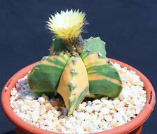 Astrophytum nudun, variegated rare cactus seed 20 SEEDS