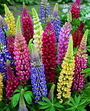 """LUPINE 'Russell' ~Mixed Colors~ """"Lupinus Russell Hybridus""""   20+ Perennial Seeds"""