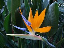 Strelitzia Reginae-Tropical Orange Ave Del Paraíso planta - 10 exóticos Semillas
