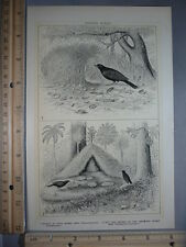Rare Antique Original VTG 2 Images Of Bower Birds Illustration Art Print