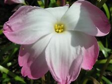 Rain Lily, Zephyranthes Labuffarosea Confection, 2 bulbs, NEW, habranthus
