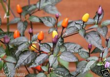 Bolivian Rainbow Chili - Ornamental and Hot Chili Seeds – Pack of 25 finest seed