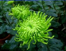 Green Spider Chrysanthemum Courtyard Flower Seeds, 50 Seeds/Professional Pack
