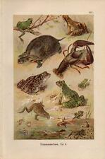 1899 MARTIN CHROMOLITHO garlic toad, frogs, crawfish, tadpoles, pond turtle, ...