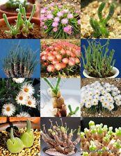 MONILARIA MIX, rare succulent cactus EXOTIC living stones desert seed 15 SEEDS