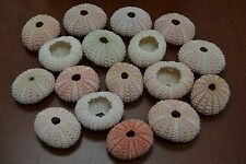 "12 PCS BIG PINK SEA URCHINS SEA SHELL BEACH WEDDING NAUTICAL 1 3/4"" - 2"" #7396B"