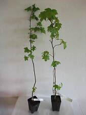 Liquidambar styraciflua Amerikanischer Amberbaum Pflanze 60 cm