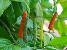INDIAN LONG PEPPER SEED Piper longum VERY RARE INGREDIENT CUISINE COOKING HERB