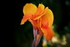 Canna Lilly Seed Orange Flower Stunning Garden Fresh Seed Canna Indica Tropical
