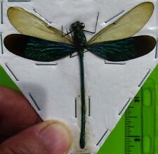 Green Metalwing Damselfly Dragonfly Neurobasis chinensis Male FAST USA