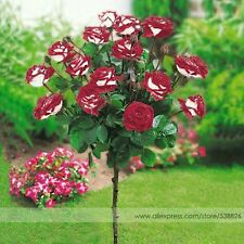 10Pcs Imported Red Rose Tree Seeds Good Germination