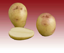 KING EDWARD SEED POTATOES x 5 Sets Main Crop FREE P&P Other Varieties Available