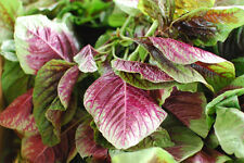 AMARANTHUS CALALOO RED LEAF VITAMIN RICH SUPERFOOD INCREDIBLE YIELDS 30 SEEDS