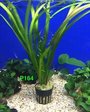 Vallisneria sp. Gigantea - Potted Plant P164