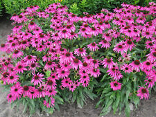 200 Purple Coneflower Echinacea purpurpea Seeds - COMB S/H