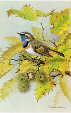 Bluethroat - 1980 Vintage Bird Print by Basil Ede